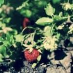 krzak truskawki